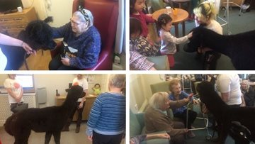 Alpaca visit delights Residents at St Andrews care home