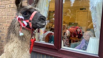 Surprise Christmas Llama visit brings festive joy and laughter to Grimsby care home